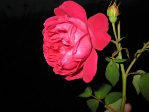 Mawar itu berduri, bukan berarti dia hanya diam